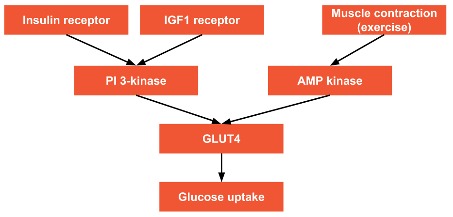 Glucose Insulin Exercise GLUT4