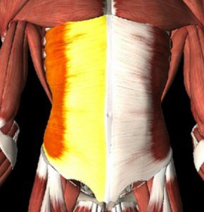 External oblique muscles of the abdomen